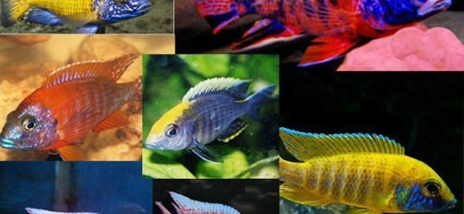 Breeding African Cichlids: Easy Or Difficult?